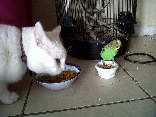 cica-es-papagaj
