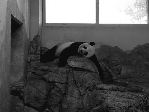 ongyilkos-panda