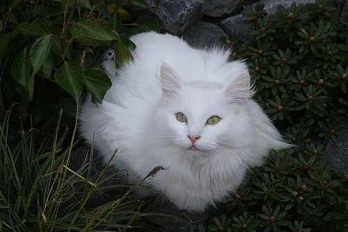feher-norveg-erdei-macska