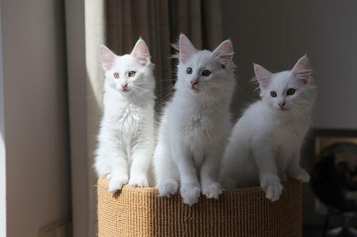 harom-norveg-erdei-macska