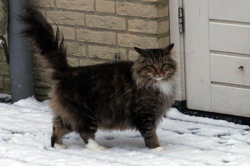 nagy-macska