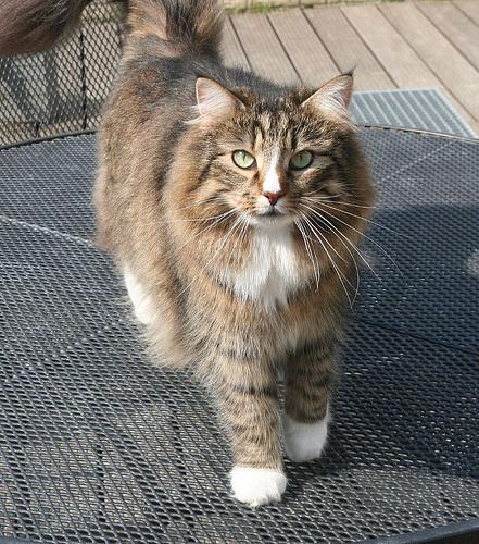 norveg-erdei-macska