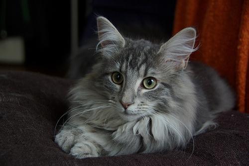norveg-macskafajta
