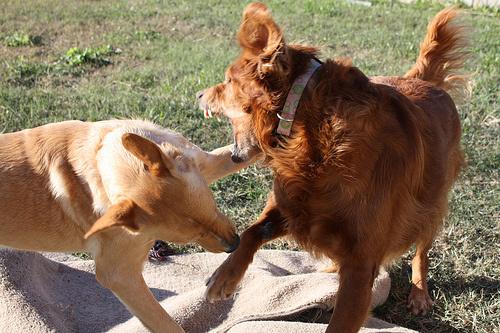 verekedo-kutya
