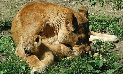 allatkert-oroszlan