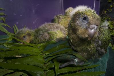 kakapo-madarak