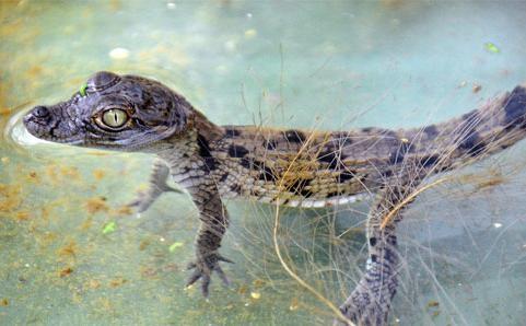 kis-krokodil-kep