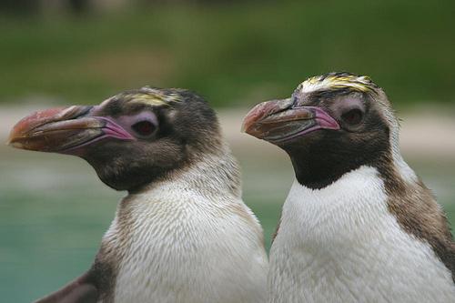 bobitas-pingvin