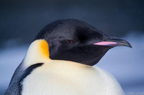 csaszar-pingvin-kep
