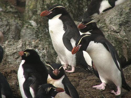 horgascsoru-pingvin