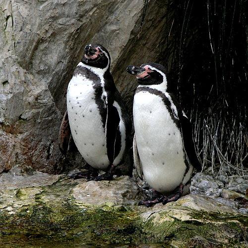 humboldt-pingvin