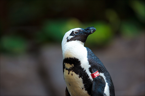 magellan-pingvin
