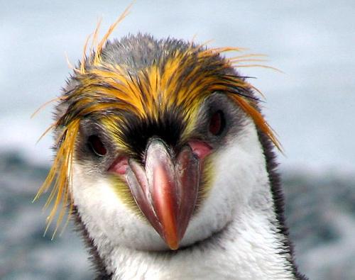 royal-pingvin