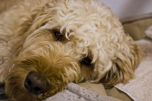 goldendoodle-kutyafajta