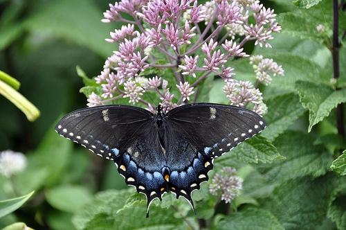 szines-pillango