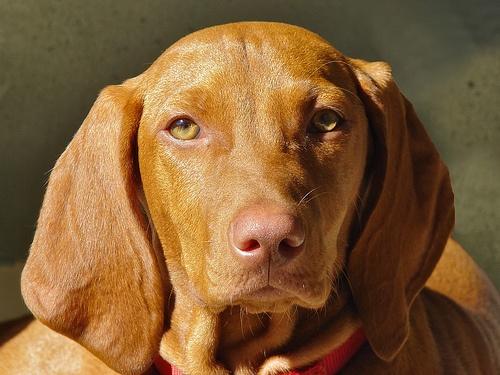 magyar-vizsla-kutya
