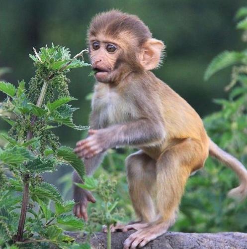 csalan-majom