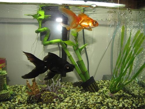 aranyhal-akvarium