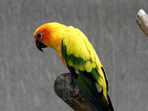 papagaj-csore