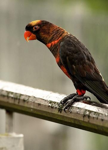 papagaj-laba