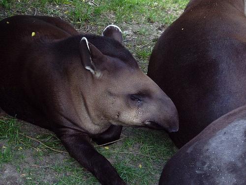 bebi-tapir