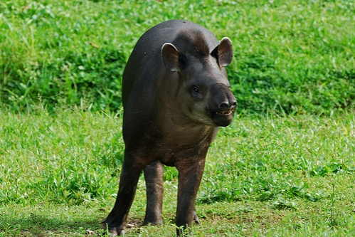 del-amerikai-tapir