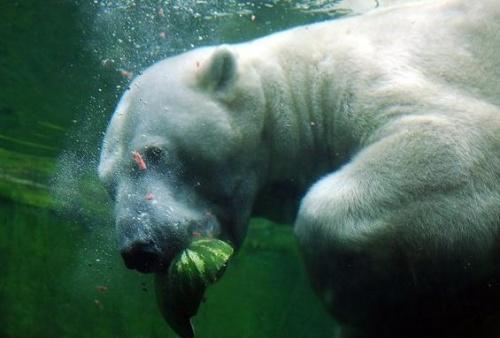 gorogdinnye-jegesmedve