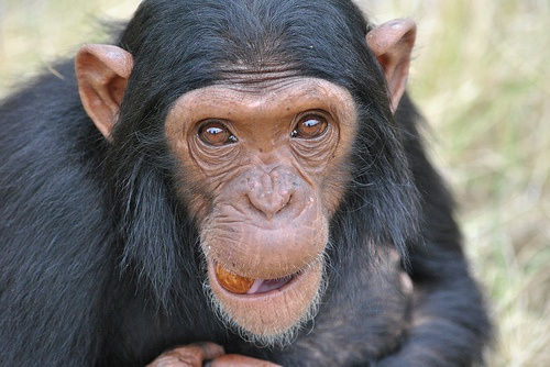 csimpanz-kep