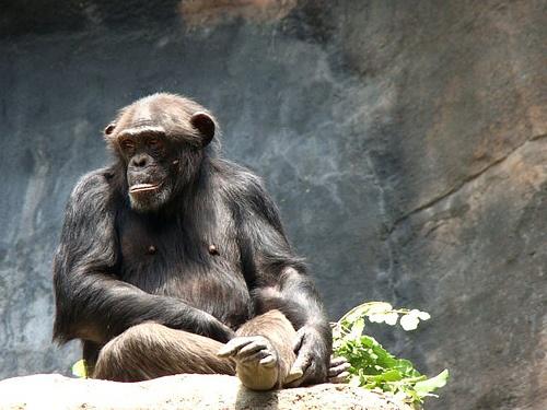 napozo-csimpanz
