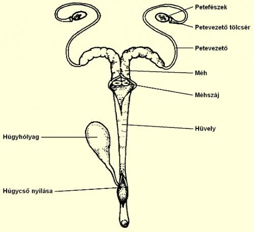az anyanyúl nemi szervei