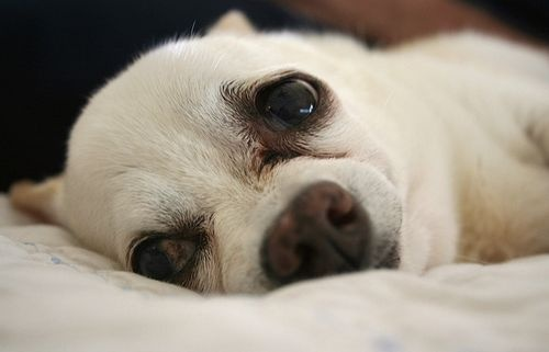 kutya májbetegsége