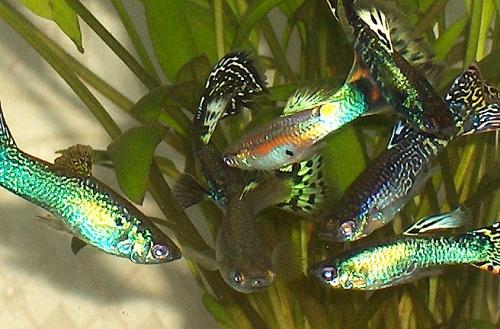a-legfontosabb-eszkzk-kezd337-akvaristknak-guppi_raj-nvny