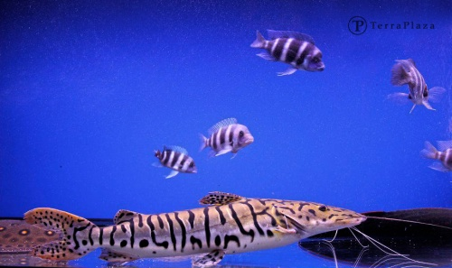 terraplaza-halak-akvariumban