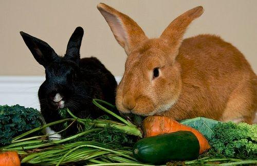 milyen zöldséget ehet a nyúl