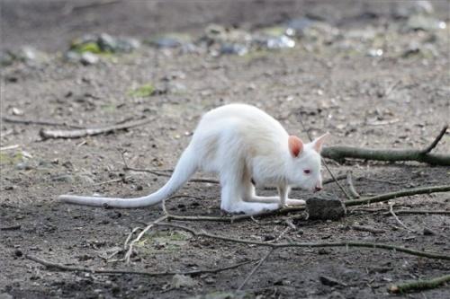 albino_benett_kenguru_szegeden