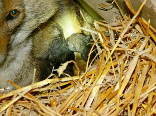 sakalkolykok-szulettek-a-budakeszi-vadasparkban