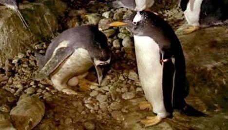 tojast-kapott-a-meleg-pingvinpar