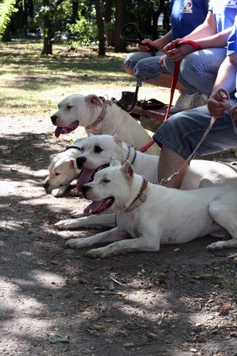 Dogó mentés - Argentin dog mentés