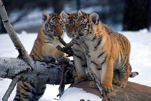 sziberiai_tigris2
