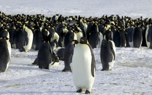 osszebuko_pingvinek2