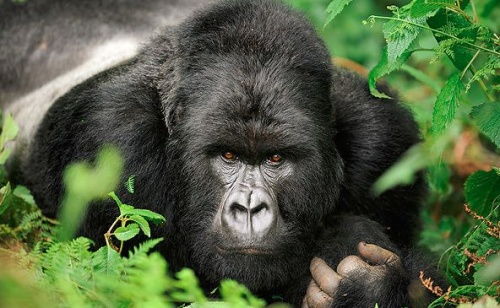 hegyi-gorilla