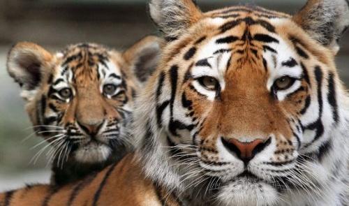 amur_tigris1