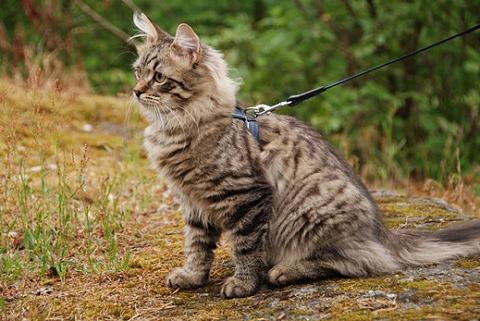 szibériai macska, macska, macskafajták