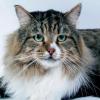 Szibériai macska: a hosszú szőrűek őse hipoallergén!
