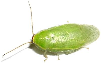 zöld, csótány, ízeltlábú