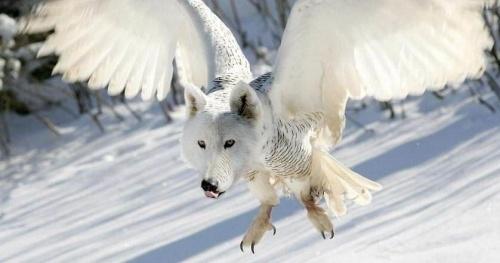 farkasbagoly