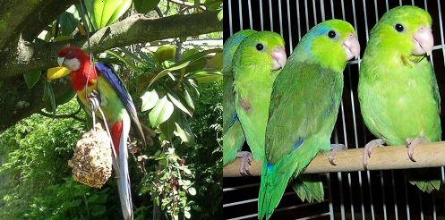 papagáj, madár, díszmadár