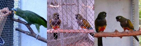 papagáj, pár, díszmadár