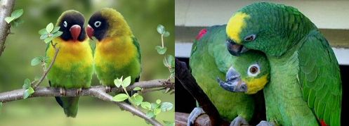 papagáj, pár, rozellapapagáj