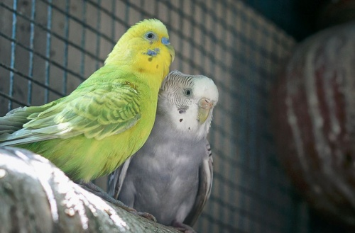 papagajpar